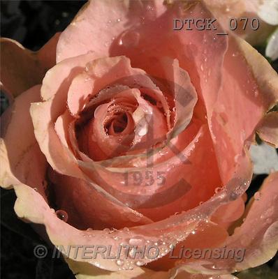 Gisela, FLOWERS, photos(DTGK070,#F#) Blumen, flores, retrato