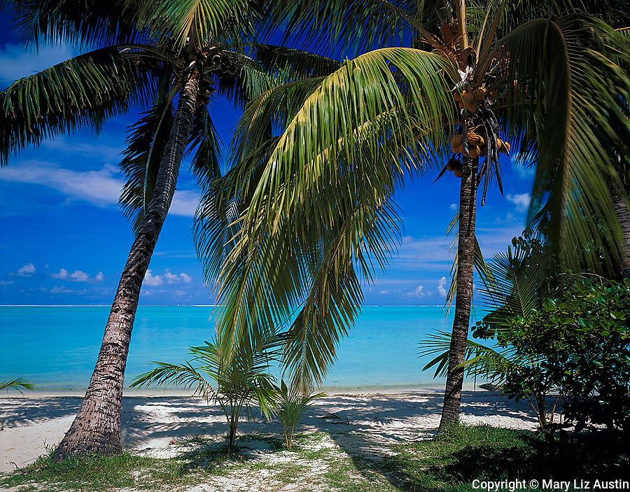 Bora Bora, French Polynesia: Coconut palm trees (Cocos nucifera) on Matira beach with the tropical blue waters of Bora Bora Lagoon