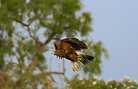 541950082 a wild adult harris hawk in flight over low bushes in the rio grande valley in texas
