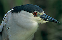 Black-crowned Night-Heron, Nycticorax nycticorax, adult, Port Aransas, Texas, USA, April 2003