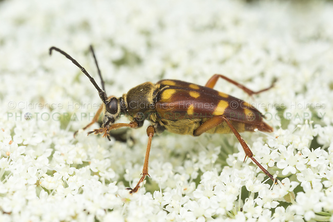 A Banded Longhorn Beetle (Typocerus velutinus) feeds on pollen on a Queen Anne's Lace plant.