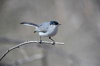 Black-tailed Gnatcatcher (Polioptila melanura melanura), male in Clark County Wetlands Park, Las Vegas, Nevada.