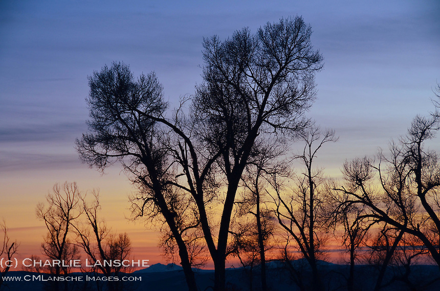 A stand of cottonwood trees illuminated by a deep winter sunset.  Near Oakley, Utah. December 2012.