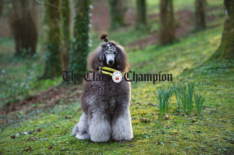 Dakota, a year-and-a-half old standard poodle, owned by Christina O Brien of Slieve Carron Gort, photographed in Coole Park. Photograph by John Kelly,