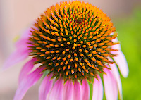 A macro shot of the Purple Coneflower
