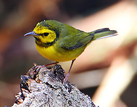 Adult female hooded warbler