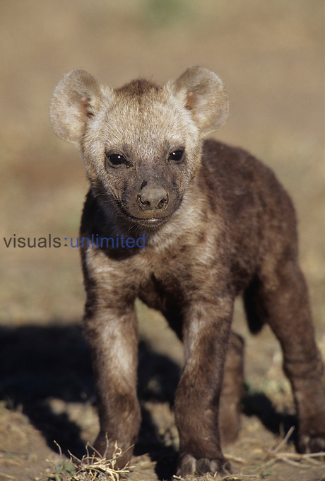 Young Spotted Hyena ,Crocuta crocuta,, East Africa.