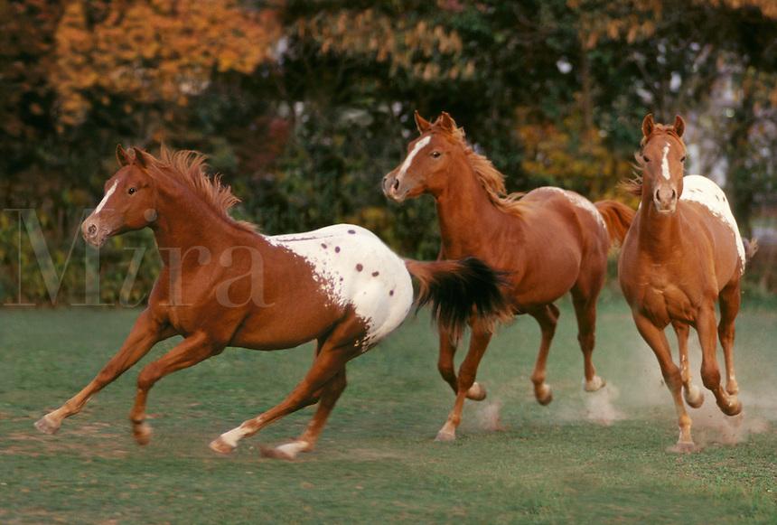 Herd of Appaloosa yearling colt horses running toward us.