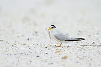 Adult Least Tern (Sternula antillarum) in breeding plumage holding a small fish. Gulf Islands National Seashore, Florida. June.