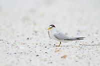 Adult Least Tern (Sternula antillarum) in breeding plumage holding a small fish. Gulf Islands National Seashore, Florida. June.