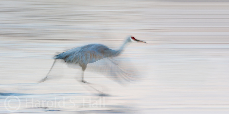 Bosque del Apache wildlife refuge was established about 80 years ago as resting and feeding grounds for migrating birds.  Sandhill cranes move between several ponds feeding throughout the day.  Instead of using a fast shutter speed to slow this speed demon, I used a slow shutter to demonstrate his speed and create an abstract.
