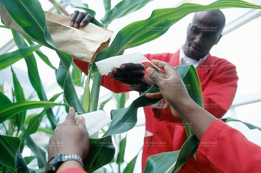 Kenya. Nairobi Province. Nairobi. Kenya Agricultural Research Institute (KARI). As part of a program to improve food security in Kenya, the Insect Resistant Maize for Africa (IRMA) project is testing BT Maize in a Bio Safety Level 2 Greenhouse complex at the National Agricultural Research Laboratory (NARL). The BT Maize is a genetically modified (GM) maize. The scientists, wearing  red clothes, work on the pollination of the plant.   © 2004 Didier Ruef