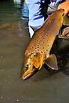 Handheld Brown trout
