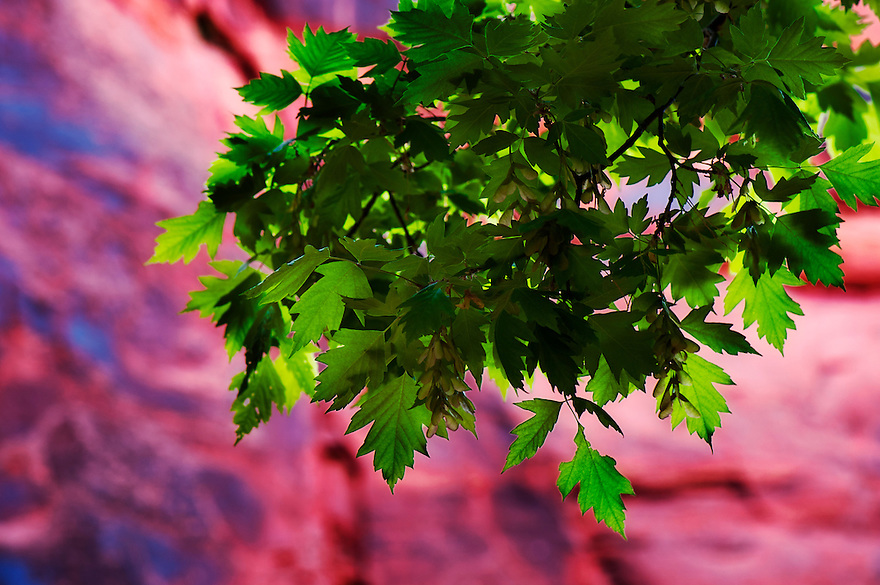 Green leaves of a Fremont cottonwood tree are seen in Buckskin Gulch in southern Utah.