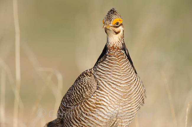 Portrait of an adult male Lesser Prairie-chicken (Tympanachus pallidicinctus) on a lek. Cimarron National Grassland, Kansas. April.