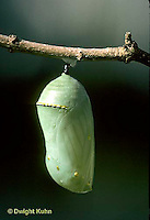 MO03-005d  Monarch Butterfly - newly formed chrysalis - Danaus plexippus
