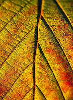 Macro detail of an autumn leaf.