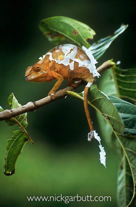 Panther chameleon {Furcifer pardalis} female shedding skin, Masoala NP, Madagascar