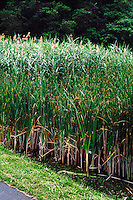 WETLANDS<br /> Reedgrass<br /> Phragmites australis, Iona Island, NY