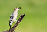 Golden-Fronted Woodpecker perched on limb with beak open