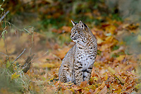 Wild Bobcat (Lynx rufus).  Olympic National Park, WA.  November.  (Completely wild, non-captive cat.)  Sitting in fallen bigleaf maple tree leaves.