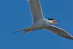 Forster's Tern in Flight, Extreme Close Portrait, Bolsa Chica Wildlife Refuge, Southern California