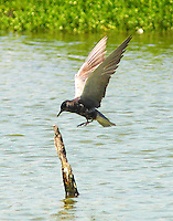 Adult black tern landing on post in water