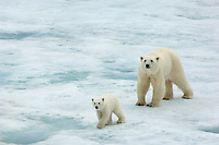 Polar bear mother and cub on pack ice of the high arctic at nearly 80 degrees north.  Neither wondering far from the other.