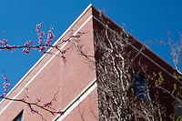 Redbud blossom at Mitchell Memorial Library.<br />  (photo by Megan Bean / &copy; Mississippi State University)