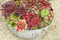 Sempervivum Plants in cute colander container