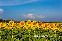 63801-07504 Sunflower field Sam Parr State Park Jasper County, IL