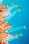 Extended tube feet of Fisher's Starfish (Mithrodia fisheri), Hawaii, USA.