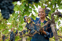 Helena Variara picking grapes by hand in the annual harvest of Sangiovese grapes at Colombaia winery, in the Colle di Val d' Elsa region of Tuscany, Italy