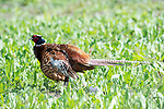Pheasant, Phasianus colchicus, Male, Elmley National Nature Reserve, Kent, UK, fluffing feathers