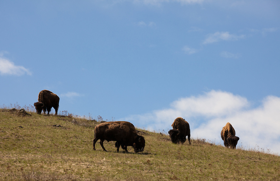 These four buffalo are seen grazing on a hillside within the National Bison Range, in Montana.