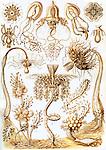 Tubulariae Hydroid, by Ernst Haeckel, 1904