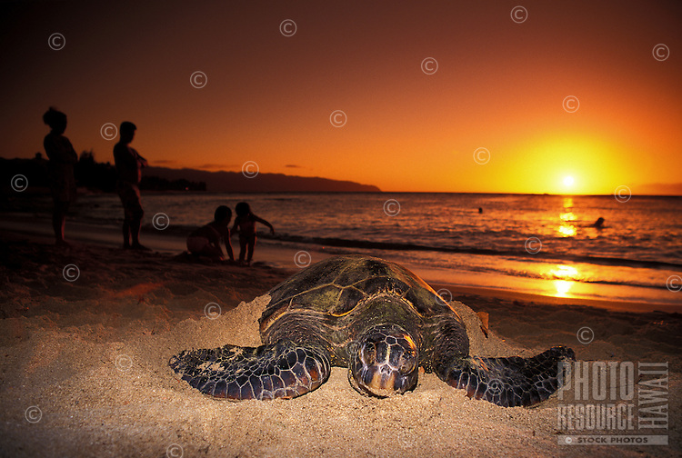 Green sea turtles bask in the  warmth of an Hawaiian sunset  at Laniakea Beach on Oahu's north shore