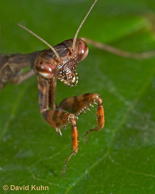 "0203-07pp  Budwing Mantis ""Nymph"" - Parasphendale agrionina ""Nymph"" © David Kuhn/Dwight Kuhn Photography"