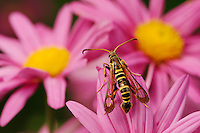 Clearwing borer (Sesiidae), adult on Gerbera Daisy (Gerbera sp.), Comal County, Hill Country, Central Texas, USA