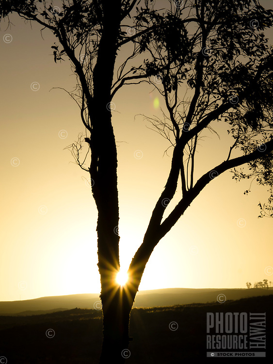 The sun looks like a star as it rises behind the base of a silhouetted tree in Waikoloa, Big Island.