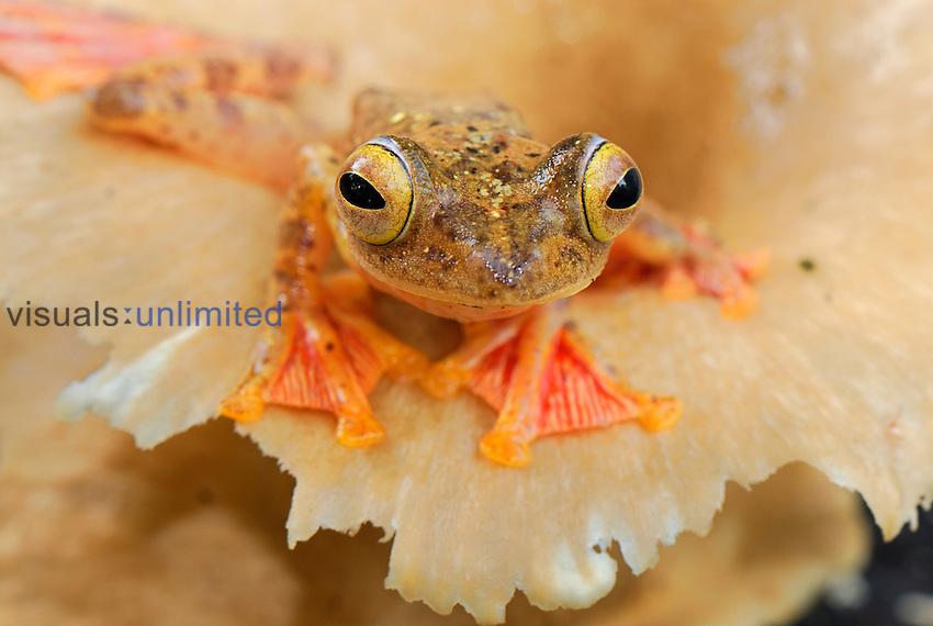 Harlequin Tree Frog (Rhacophorus pardalis), Danum Valley Conservation Area, Sabah Borneo, Malaysia.