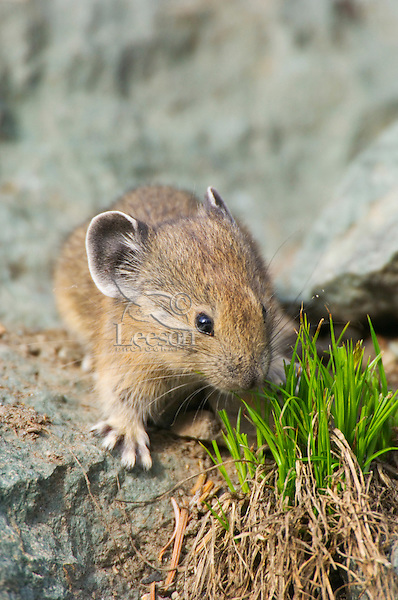 Young American Pika (Ochotona princeps) in alpine rock pile foraging for food.  Pacific Northwest.  Summer.