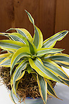 LEMON JEWEL DRACENA HYBRID