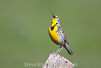 Singing Meadowlark. Love it, perfect depth of field and crisp