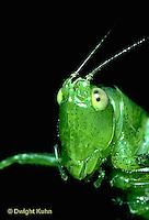 OR03-009a  Slender Meadow Grasshopper or Slender Meadow Katydid - close up of head - Concephalus spp.