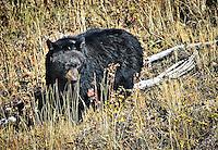 Black Bear walking through a field   in Yellowstone National Park