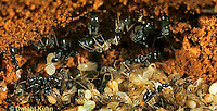 AN09-005z  Ant - carpenter ants with naked pupae (no cocoons) in nest