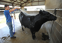 NWA Democrat-Gazette/ANDY SHUPE<br /> Cole Umberson, 17, of Lincoln sprays water Thursday, Sept. 3, 2015, while preparing for auction at the Washington County Fair at the county fairgrounds in Fayetteville. The fair continues today.