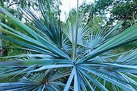 Domaine du Rayol en novembre : dans le jardin d'Amérique subtropicale, palmier bleu (Brahea armata).