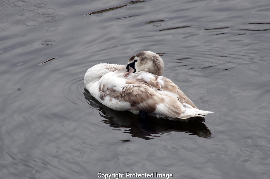 A young swan, that still has it's brown feathers are enjoying the first signs of spring on Vltava River in The Czech Republic.